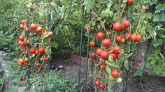 A complete guide and tips to growing the best tomatoes ever! You will be amazed at these secrets to growing great tomatoes in your garden. With these few sim...