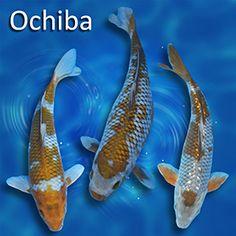 39 kawarigoi 39 or 39 kawarimono 39 is the term applied to a koi for Ochiba koi fish