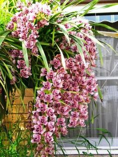 Cymbidium cascading orchid is in full bloom grown in an Autopot hanging basket fed from an Autopot Smart-pump set. 4 years from planting with minimal attention with 30 spikes Orchid Plants, Exotic Plants, Exotic Flowers, Tropical Flowers, Beautiful Flowers, Beautiful Gorgeous, Hanging Baskets, Hanging Plants, Garden Plants