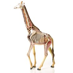 Giraffe Anatomy Model