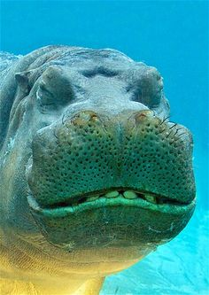 Hungry hungry Hippo!