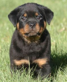 Like the mythical Greek hero Hercules the Rottweiler is strong and true with a loving heart. Affe. #Relax more with healing sounds:
