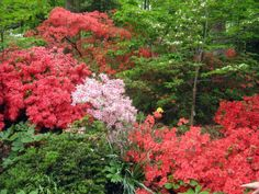 Azaleas in bloom