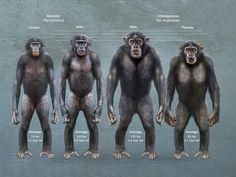 The Body Language of Bonobos and the Evolution of Human Language Primates, Mammals, Learn Biology, Ape Monkey, Planet Of The Apes, Animal Facts, Prehistoric Animals, Mundo Animal, Orangutan
