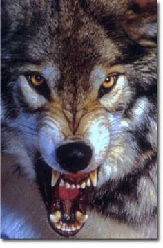 Angry wolf