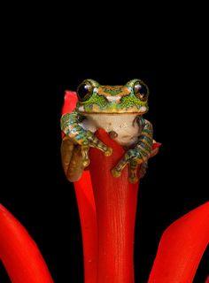 ~~Meet Sarah - the Peacock Tree Frog by wendysalisbury~~