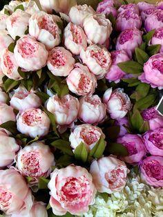 Good Auff llige Bl ten in Samtrot Allium uRed Mohican u Gefunden auf tom garten de Fr hjahrsbl her f r Beet und Balkon Pinterest