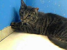 3 year old Luie needs out of NYCACC NOW!!! TO BE DESTROYED 6/3/13 Manhattan Center  My name is LUIE. My Animal ID # is A0965897. I am a neutered male blk tabby amer sh mix. The shelter thinks I am about 3 YEARS old.  I came in the shelter as a OWNER SUR on 05/19/2013 from NY 10014, owner surrender reason stated was NO TIME. I came in with Group/Litter #K13-134323.