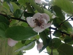 Bee_Quince orchard_Flowering