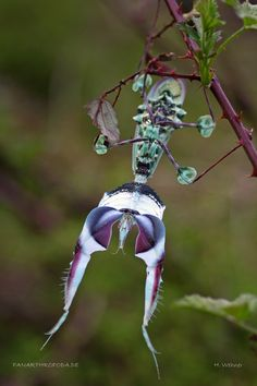 Idolomantis diabolica aka Devil's Flower Mantis or Giant Devil's Flower Mantis | The Dancing Rest