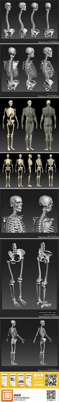 【基础教材】骨骼参考对照素材~希望对大家... 3d Anatomy, Human Body Anatomy, Muscle Anatomy, Anatomy Study, Anatomy Male, Body Reference, Anatomy Reference, Reference Images, Art Reference