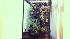 Green Tree Frog Terrarium / Paludarium Setup