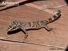 Comoro ground gecko