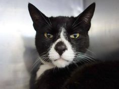 7 year old Tom needs out of NYCACC NOW!!! TO BE DESTROYED 6/10/13 Manhattan Center  My name is TOM. My Animal ID # is A0965870. I am a neutered male black domestic sh mix. The shelter thinks I am about 7 YEARS old.  I came in the shelter as a STRAY on 05/19/2013 from NY 10455, owner surrender reason stated was STRAY.