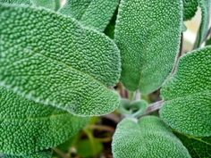 How to Grow Sage. Sage (Salvia officinalis) is a hardy perennial (in zones 5 to that tastes aromatic and slightly bitter. It is easy to grow, only having three major requirements - plenty of sunshine, good drainage and good air. Sage Essential Oil, Organic Essential Oils, Organic Oils, Sage Plant, Plant Leaves, Sage Herb, Permaculture, Herbal Remedies, Natural Remedies