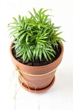 Bambuszpálma – gondozása, kártevői, virágzása, igényei Planter Pots, Herbs, Link, Fern, Ornamental Plants, Herb, Medicinal Plants