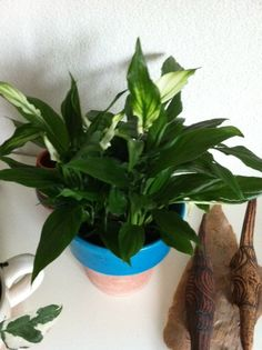 #Spathiphyllum; Available at www.barendsen.nl Peace Lily, Plants, Plant, Planets