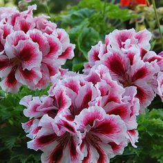 Герань королевская пеларгония: фото цветов, уход в домашних условиях