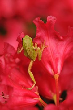 The Washington state Amphibian is the Pacific chorus frog, and just happens to be climbing among the Washington State Flower, in the blooms of the rhododendron~