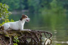 Isis Maria S. dreamin' about the weekend. #jackrussell #dog #photography #lake