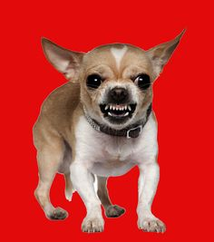 Chihuahua Dogs Man eating Chihuahua - Your new canine addition to your family deserves not only a great home but also a great name. We think these cute Chihuahua dog names will fit perfectly. Chihuahua Breeds, Chihuahua Love, Dog Breeds, I Love Dogs, Cute Dogs, Dog Growling, Aggressive Dog, Dog Behavior, Image Hd