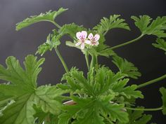 'Dr Westerlund' Troligen en korsning mellan P. radens och P. capitatum som uppkommit i odling vid slutet av 1700-talet. Den avbildades och beskrevs första gången av fransmannen Charles-Louis L'Héritier 1789. Synonym: Bl. a.: P. 'Graveolens', 'Rosengeranium'  Doftpelargon som sprider en doft av citrus och ibland även ros vid beröring. Vita blommor med purpurröda markeringar på de övre kronbladen. Friskt gröna, flikiga blad. Kan med fördel användas som smaksättning i bakverk m m. #pelargon