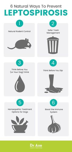 How to prevent leptospirosis? - Dr. Axe http://www.draxe.com #health #natural #holistic