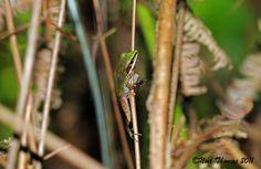 Rana chalconota (Copper-Cheeked Frog)