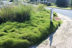 Zoysia tenuifolia on a roundabout in Pottsville, New South Wales by tanetahi, via Flickr
