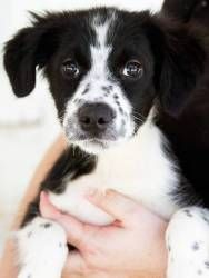 Ready Sat., Nov. 10th is an adoptable Border Collie Dog in Briarcliff Manor, NY. Dogs Name: Freckles. This gorgeous pup was recently rescued from a high kill shelter. He/She will first be ready to mee...