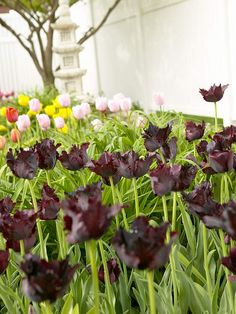 Of the coolest hybrid tulips, parrot types are some of our favorites because of their fantastically fringed and twisted petals! http://www.bhg.com/gardening/flowers/bulbs/best-tulips-for-your-garden/?socsrc=bhgpin041615blackparrot&page=9