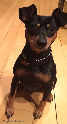 Miniature Pinscher Dog Breed Information and Pictures
