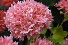 ruffles golden geranium rushmoor | Rushmoor Golden Ruffles Geranium. Photo: perfect-pelargoniums.com