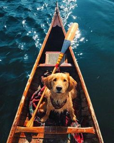 Golden Retriever in a canoe! Cute Puppies, Cute Dogs, Dogs And Puppies, Doggies, Shitzu Puppies, Rottweiler Puppies, Animals And Pets, Baby Animals, Cute Animals