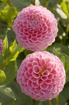 Interested in growing dahlias? Check out the new book The Plant Lover\'s Guide to Dahlias.  #plantlover
