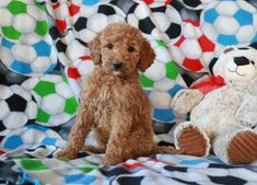 Buy Cheap Goldendoodle Puppies for Sale near me Goldendoodle Full Grown, Medium Goldendoodle, Goldendoodle Puppy For Sale, Labradoodle, Puppies For Sale, Buy Cheap, Cute Animals, Teddy Bear, Toys