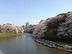 Cherry blossom 2013