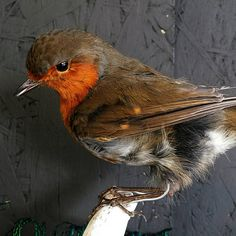 Check out this item in my Etsy shop https://www.etsy.com/uk/listing/451885232/taxidermy-robin-real-taxidermy-european