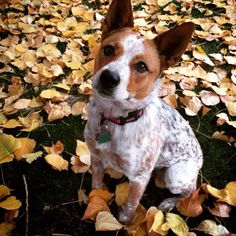 In the Aspen leaves Australian Cattle Dog Red, Austrailian Cattle Dog, Rat Terrier Mix, Rat Terriers, Baby Dogs, Doggies, Dogs And Puppies, Beautiful Dog Breeds, Beautiful Dogs