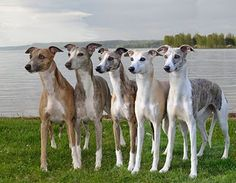 Whippets for becky