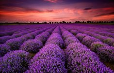 Photo about Sunrise over blooming fields of lavender on the Valensole plateau in the Provence in southern France. Image of landscape, diminishing, morning - 67953401 Lavender Fields, Lavender Flowers, Lavander, Lavender Oil, Flowers Nature, Provence Lavender, Blue Flowers, Valensole, Stretched Canvas Prints