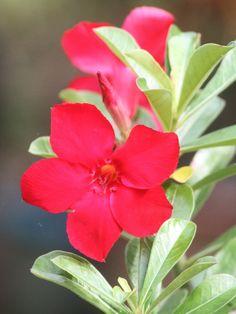 My Plant  Red Adenium Obesum