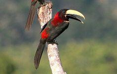 araçari-de-pescoço-vermelho (Pteroglossus bitorquatus) por Horácio de Almeida