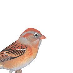 Field Sparrow. Painted and © by David Sibley