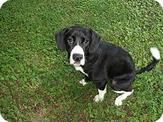 Thomasville, NC - Border Collie/Labrador Retriever Mix. Meet Callie a Dog for Adoption.