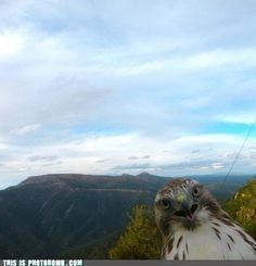 Hawk photobomb
