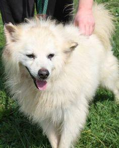 Senior Dog Haven and Hospice - Wilmington, DE - Adoptable dog - American Eskimo