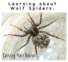 Learn about Wolf Spiders and how they carry their spiderlings on their abdomen. Quite amazing!