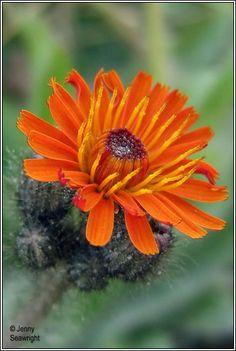 Irish Wildflowers - Fox and Cubs