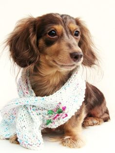{doxie in a scarf} adorable